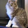 Сибирский котик Байкер ищет дом и хозяев в Москве 500 руб.