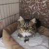 Сибирская кошка в дар в Москве договорная