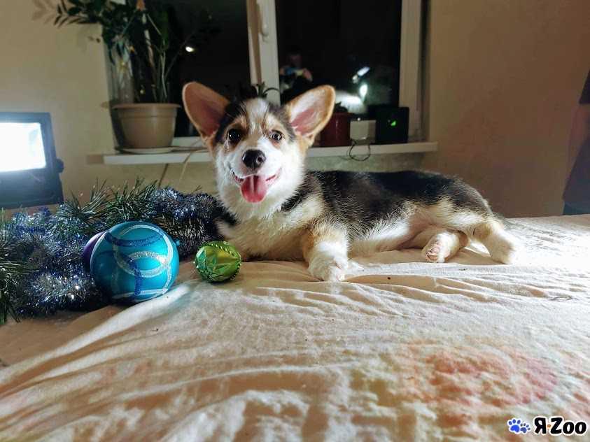 Вельш корги пемброк щенок — продать собачку в Москве за ...