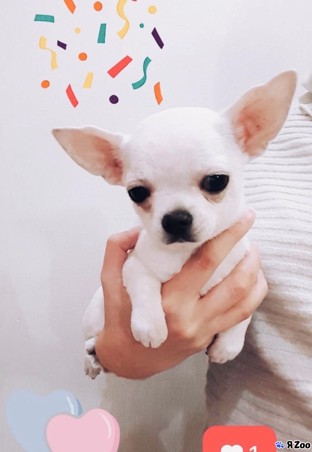 Чихуахуа мальчик три месяца от рождения — продам собаку в Санкт-Петербурге за 3200 ₽ на ZooYa.ru